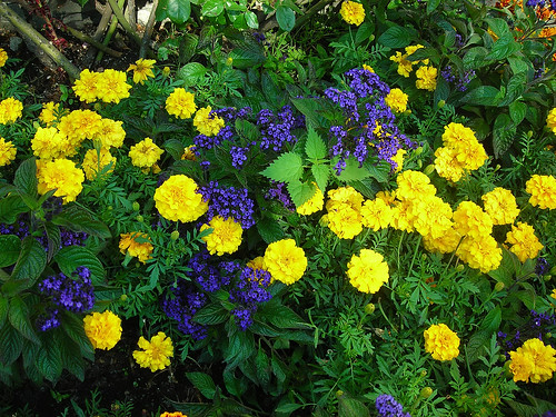 Heliotrope and marigolds