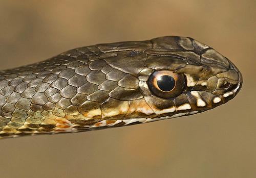 Snake's head