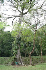 Standing underneath an enormous sacred Ceiba tree in Yaxchilan ruins (nickdippie) Tags: mexico yaxchilan mayanruins ruins ancientruins ceiba gianttree hugetree