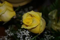 Roses (Niki Gunn) Tags: flowers april 2011 olympusc4040z