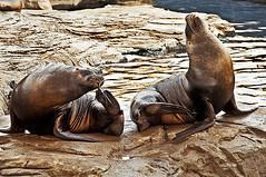 A106-Indiferencias fingidas (Eduardo Arias Rbanos) Tags: valencia animal animals sex fauna nude nikon sexo seal animales foca desnudo oceanografic d300 indiferencia lobomarino eduardoarias fingimiento eduardoariasrbanos
