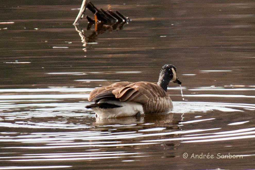 Canada Goose at the beaver bog-25.jpg
