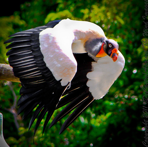 Argentinian King Vulture_MG_0657 by Against The Wind Images