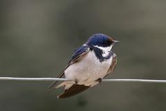 Hirundo albigularis-White-throated Swallow (Aviantic) Tags: swallow whitethroated