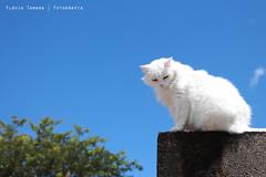 Bia the Cat (Flvia Tamara) Tags: muro cat natureza bluesky dia gato gata passeio bia cuazul gatobranco gatonomuro
