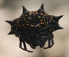 The Underside of a Spiny Orb Weaver