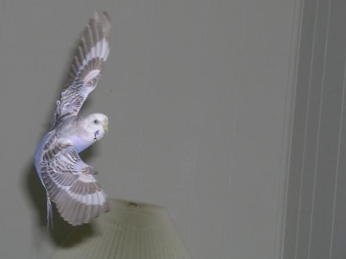 fallen wellensittiche aus dem nest
