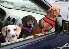 Waiting the Coffee (geckoam) Tags: dog pet puppy pepper hotdog dachshund blackdog wiener mocha levi piebald reddog wienerdog dackel carride teckel doxie whitedog