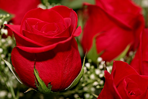 Red Roses by janruss.