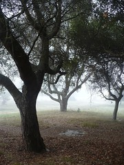Oak and Fog