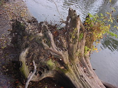 DSC00163 (leslihilton) Tags: tree closeup roots treetrunk