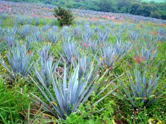 Agave tequilero, Mexico (Ani Carrington) Tags: cactus cacti mexico outdoors tequila fields wildflowers agave