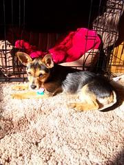 Sunshine puppy (bonkrood) Tags: puppy jinx chorkie