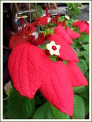 Close-up image of Mussaenda erythrophylla 'Ashanti Blood' (Red Flag Bush)