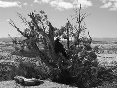Quoth the Raven... (lumberjacklukee) Tags: trees blackandwhite white black tree bird beautiful birds dead utah interestingness interesting bush desert nowhere hills land mostfavorited raven ravens route22 onetopfav exploretop20 abigfave anawesomeshot impressedbeauty