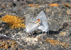 Mating amidst the lichen (kea660) Tags: orange white love nature rock butterfly insect grey butterflies camouflage mating lichen