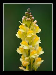 Moraine Lake Flora (Liz Faulkner) Tags: canada flower yellow canon photography explore alberta lakelouise banffnationalpark morainelake diffanglephoto lizfaulkner copyrightelizabethfaulknerdiffanglephotolrps