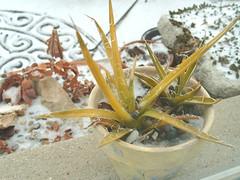 poor frozen cactus