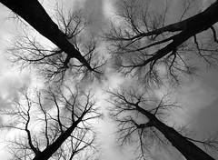 Vertigo (Hans van Reenen) Tags: trees winter sky blackandwhite bw germany deutschland noiretblanc fav50 vertigo fav20 cielo invierno fav30 duffel arbolitos doka fav10 kranenburg fav100 fav40 dffel fav60 fav110 fav90 fav150 dffelt mywinners abigfave fav80 duffelt fav70 fav120 aplusphoto infinestyle treesubject ntterden fav140 fav130 20080122