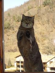Febrer 2008 066 Deixeu-me entrar!! / Let me go inside!! (visol) Tags: cat gata chatte mixa kissablekat bestofcats ilovemypic boc0608