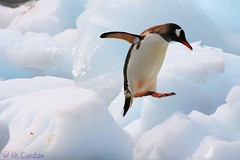 who says penguins can't fly (kkcondon) Tags: ice nature penguin jump gentoo antarctica x quark condon kk oceannova explore445 polarregions a3bchallenge kkcondon