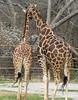 Giraffe Nuzzle - Tulsa Zoo