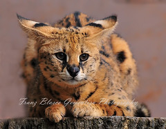 Serval (Francis_G) Tags: cat breathtaking serval wcw 70200mmf28gvr pinoykodakero vosplusbellesphotos flickrbigcats
