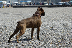 Boxer ( photopade.) Tags: dog chien muscles all ami boxer faithful fidle bring toutmuscles