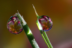 Natural light dewdrop refraction #4 (Lord V) Tags: macro water dewdrop refraction