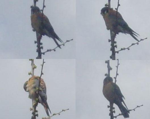 Hawks Combined
