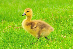 Canadian Goose Baby (Micha67) Tags: usa baby bird animal michael geese spring michigan wildlife canadian goose chick micha schaefer potofgold blueribbonwinner platinumheartaward goldwildlife llovemypics