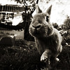 (parade in the sky) Tags: bw rabbit bunny cindy grass sepia square paw backyard bokeh wideangle step 1020mm palabra
