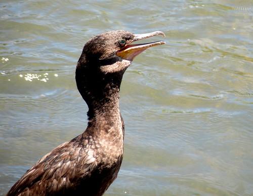 Neotropic cormorant - Phalacrocorax brasilianus brasilianus