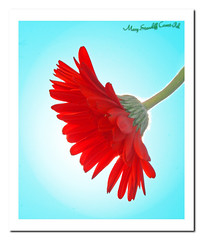 Sunny Summer Day (MaryStancliffCovert-Pal) Tags: blue red sky sun flower sunshine vintage spring flickr framed mary may sunny retro gerbera stems marystancliffcovertpal