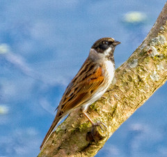 """Reed Bunting • <a style=""""font-size:0.8em;"""" href=""""http://www.flickr.com/photos/53908815@N02/13135528085/"""" target=""""_blank"""">View on Flickr</a>"""