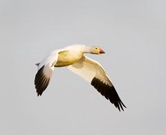 Snow Goose (J Gilbert) Tags: newjersey goose brigantine forsythe chen snowgoose naturesfinest chencaerulescens abigfave