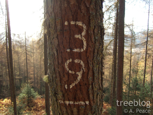 larch trunk with '39' painted on