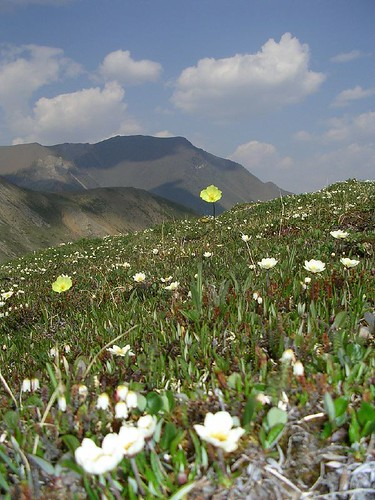 Macouns Poppies and Mountain Avens by Alasdair Veitch.