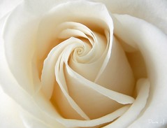 Blessing day  (Dave :-) (on and off)) Tags: white flower macro nature beautiful rose closeup dave wonderful friend lovely soe whiterose  excellence blueribbonwinner impressedbeauty flickrdiamond excellentphotographerawards theunforgettablepictures thatsclassy theunforgettablepicture macromarvels theperfectphotographer goldstaraward