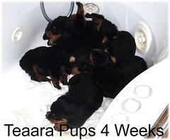 tpups4weeks (muslovedogs) Tags: dogs puppy rottweiler teaara zeusoffspring