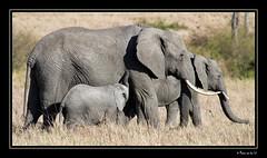 Family pride... (Manon van der Lit) Tags: africa travel baby elephant nature animal kenya wildlife mother safari mara afrika kenia masai afrique masaimara gamedrive suckling naturesfinest africamyafrica manonvanderlit