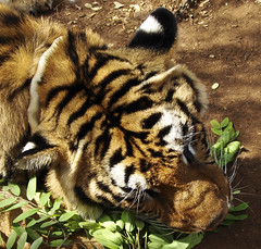 Tigers eat leaves?