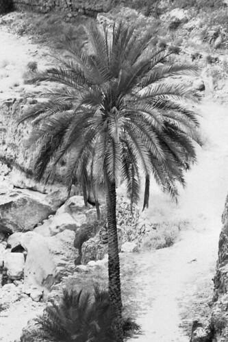 date palm in desert. Date Palm Judean Desert