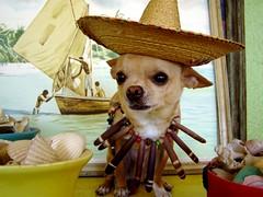 tropical greetings from floyd! (EllenJo) Tags: sea arizona dog pet shells chihuahua cute beach seashells digital necklace tribal tropical caribbean sombrero floyd 2008 seaurchin incostume tradewinds january2008 ellenjo ellenjoroberts ellenjdroberts tropicalgreetings ellenjocom seaurchinspines seaurchinspinenecklace