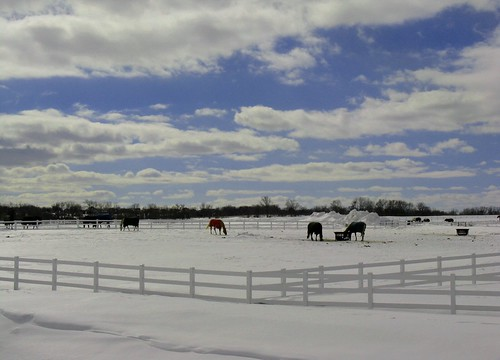 horses in a winter meadow in front of Taupeville, Sun Prairie