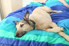 Mother's day duvet surf (kerri.o) Tags: mothersday lurcher tealeaf duvetsurfing