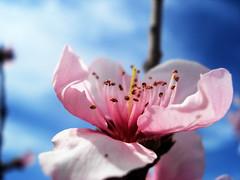 flor de durazno (ing jorge) Tags: wallpaper naturaleza flower macro colores macromania flordedurazno flickrestrellas mimamorflowers