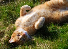 Sun bathing (Miss Claeson) Tags: pet sun grass cat bill spring nikon play sweden lawn rolling gingercat dalar nikond80