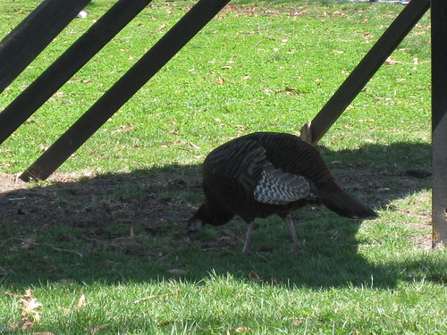 A Turkey in New York?!
