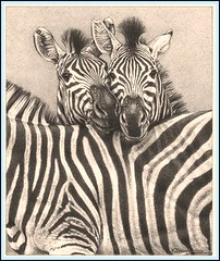 'Stripes' - Zebras - Fine Art Pencil Drawings  www.drawntonature.co.uk (kjhayler) Tags: pictures wild horses blackandwhite horse baby art animal animals drawing african contemporary stripes wildlife young picture drawings naturalhistory zebra savannah plains serengeti wildhorses kruger zebras animalart wildanimals foal foals animalprints pencildrawings wildlifeimages drawingpictures animalpictures wildlifeart africanwildlife africananimals zebraprint burchellszebra wildlifephotography wildlifephotos animalphotos animaldrawings wildlifeartists commonzebra naturepictures zebrapattern babyzebra babyzebras plainsanimals wildlifeportraits wildpictures thezebra zebraphotos animalspictures openedition wildlifeartist wildlifedrawings drawingphotographs kevinhayler zebrapicture zebraspictures zebrapictures picturesofzebras pictureszebras picturezebra photosofzebras animalszebras zebradrawing zebraphoto photozebra zebraimage zebraimages photoszebras youngzebras